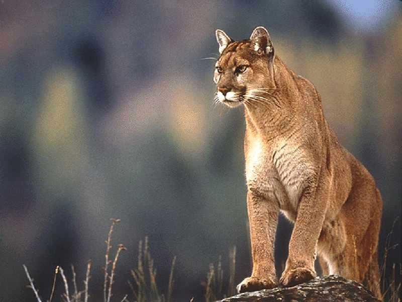 external image cougar.jpg