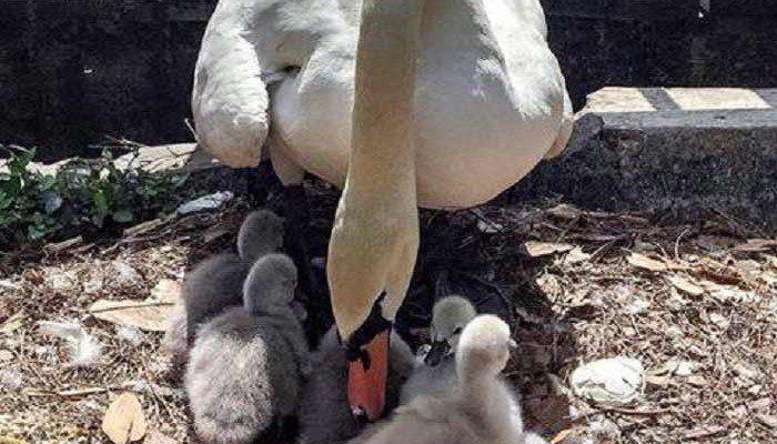 Eola-Swan-Babies